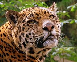 250px-Jaguar_at_Edinburgh_Zoo.jpg